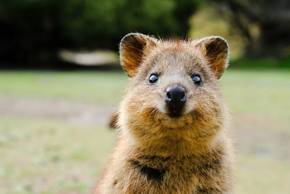 The quokka is the happiest animal in the world