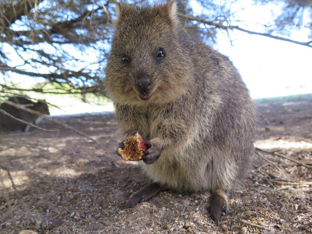 The quokka is the most enduring animal in the world